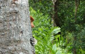 Feb BT gallery: young female proboscis monkey