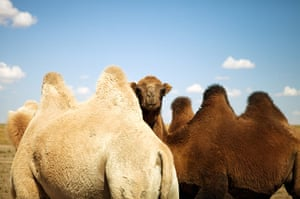 Feb BT gallery: Gobi Desert of Mongolia with the Bactrian camels