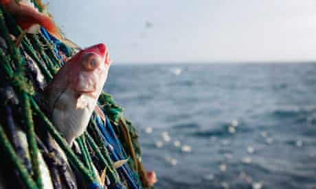 A haddock caught in the net of a trawler