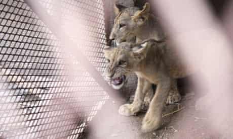 Lion farm in Yemen