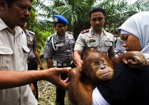 Orangutan under threat: Deforestation Tripa Peat Swamp Forest in Aceh, Indonesia