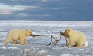 Two polar bear cubs play tug of war with bowhead whale skin at the Arctic national wildlife refuge in North Slope, Alaska.