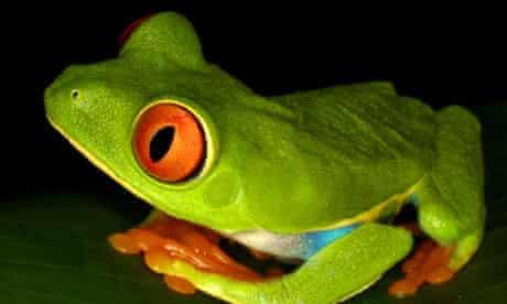 Redeye tree frog