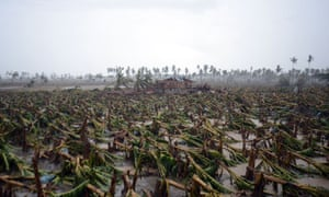 Destroyed banana trees