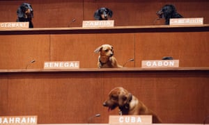 If dogs ruled the world. Dachshunds sit in their positions for the performance installation Dachshund UN, where the dogs were used to mimic a United Nations Commission on Human Rights meeting in Toronto. Australian artist Bennett Miller created the show to question humanity's potential for creating a universal justice system.