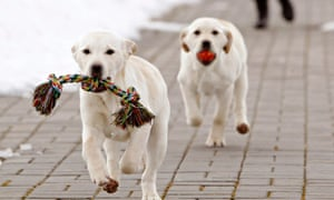 Labrador puppies are trained at a frontier guards' cynology centre near the town of Smorgon, Belarus. The dogs trained to be Belarus border guards. Puppies and dogs, which don't meet requirements for the service at the border, can also be sold to civilians.