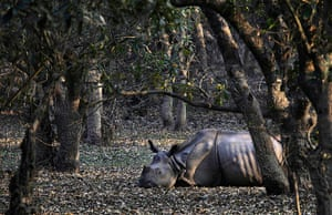 20 Photos: An injured Indian one-horned rhinoceros at the Pobitora Wildlife Sanctuary