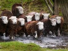 sheep on Yew Tree farm