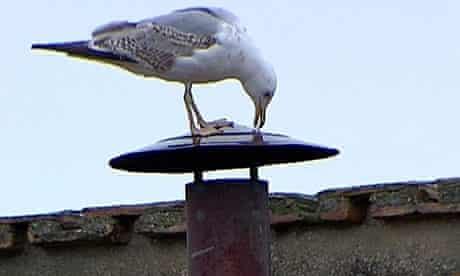 Gull on Sistine Chapel chimney
