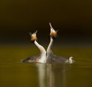 """Great Crested Grebes doing a 'weed dance' courtship ritual, Cheshire, Britain. Photographer Ben Hall explains that """"The grebes perform a very elaborate courtship ritual, part of the display is when they dive down to grab some pond weed then rise up out of the water and offer it to their mate."""""""