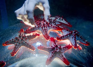 Red-knobbed starfish being carefully placed in their display, part of a new exhibition at the Sea Life London Aquarium.