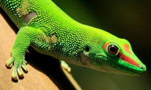 A Madagascar day gecko sits on a perch in the Masoal rainforest hall at the zoo in Zurich.
