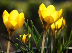 Spring readers' pictures : Crocuses
