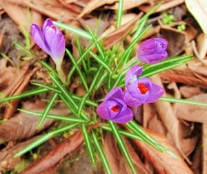 Spring readers' pictures : Tiny crocuses