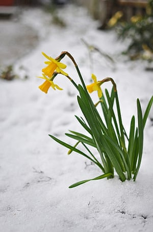 Spring readers' pictures : Daffodils in snow