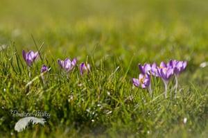 Spring readers' pictures : Purple crocus