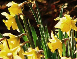 Spring readers' pictures : Daffodils