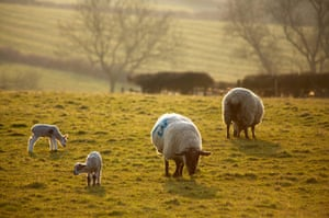 Spring readers' pictures : Spring lambs