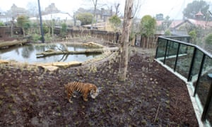 Jae Jae looks at his new home as the opening of the new Tiger enclosure at London Zoo.