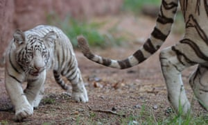 One of the two five month old Indian white tiger male cubs, named Kiran and Sharan, follow his mother Sameera in their enclosure at the Nehru Zoological Park in Hyderabad.
