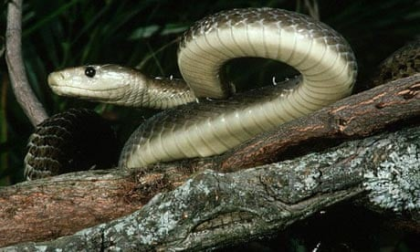 Hunt for runaway South African black mamba snake goes hi ...