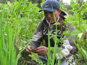 Farmer examines potato crop