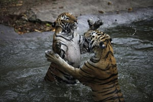 24 hours: Hyderabad, India: Royal Bengal tigers play in the water