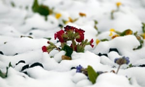 Spring flowers surrounded by snow on a roundabout in Ruthin, north Wales, on 22 March 2013.