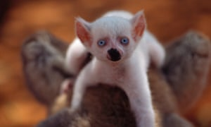 A uniquely gorgeous newborn albino lemur looks up to the camera in Berenty, Madagascar. Despite having the protection of his mother, the easy-to-spot baby will be more vulnerable to predators than other youngsters.