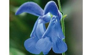 Salvia 'Cambridge Blue'