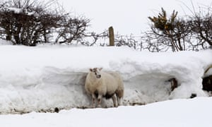 Today's bewildered sheep picture has been taken  behind a wall of snow in the hills of Domore in Northern Ireland.  A Royal Air Force helicopter has been deployed in a bid to reach remote farms where estimates suggest up to 10,000 animals have been caught in snowdrifts up to six metres high.