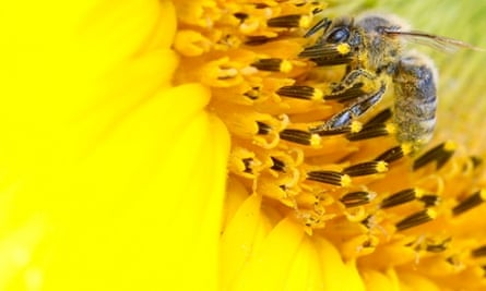 A bee collects nectar from a sunflower in a field near in Leibstadt, Switzerland. July 9, 2012. Pesticides have been found to make bees forget the scent for food. Read more on the bee plight.