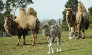 One hump or two? A baby Bactrian camel stands between its parents, as it explores their enclosure for the first time at West Midlands Safari Park, Bewdley.