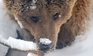 A bear with a cold nose. A Brown bear plays in their snow-covered enclosure at the Budapest Zoo. The official spring session at the zoo is begun today as Budapest comes to life after record-breaking snow that blanketed the capital and other parts of the country over the last days.
