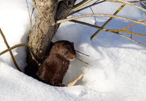 Week in wildlife: A mink looks out from its den