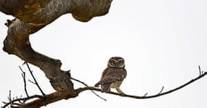 Week in wildlife: Owl in Mayong forest