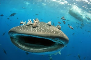 Week in wildlife: Hitching A Ride On A Whale Shark