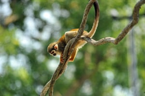 Week in wildlife: A squirrel monkey rests a tree during  a