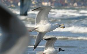 Week in wildlife: Seagulls in flight