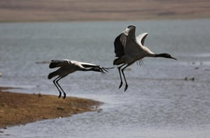 Week in wildlife: Black Necked Cranes Seen In China
