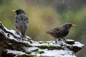 Week in wildlife: Two Common Starlings