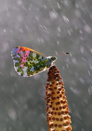 Week in wildlife: Orange tip in spring rain