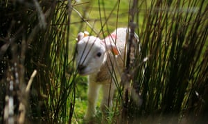 Nice with a bit of mint sauce: A new born lamb peers through reeds out in the fields near The Parks McHenry farm outside the village of Ballintoy on the North Antrim coast as their lambing season gets underway.