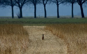 24 hours in pictures: Duisburg,  Germany: A hare rests in a field