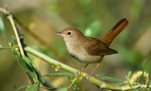 A nightingale