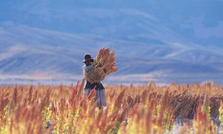 Quinoa harvest in Bolivia