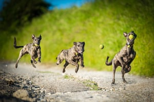 Freeze-framed dogs: A lurcher in action