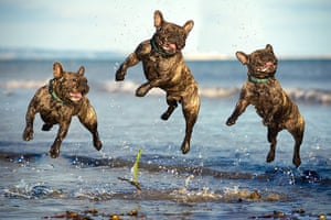 Freeze-framed dogs: Ralph the French bulldog jumping at Lancing Beach in West Sussex
