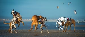Freeze-framed dogs: Charlie the dalmation and Enzi rhodesian ridgeback play fighting