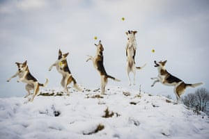 Freeze-framed dogs: Pandy the collie cross catching a ball at Crook in the  Lake District